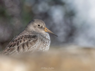 Matthew Barfield Wildlife Photography New Forest Birds Purple Sandpiper