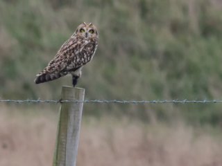 Matthew Barfield Wildlife Photography New Forest Birds  short eared owl bird of prey