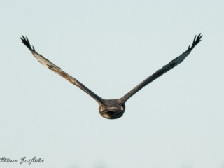 Matthew Barfield Wildlife Photography New Forest Buzzard