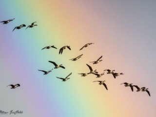 Matthew Barfield Wildlife Photography New Forest Birds Canada geese rainbow