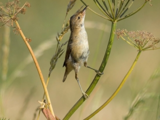 Matthew Barfield Wildlife Photography New Forest Birds Reed warbler