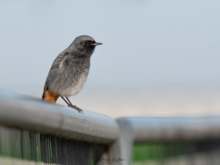 Matthew Barfield Wildlife Photography New Forest Birds Black Redstart
