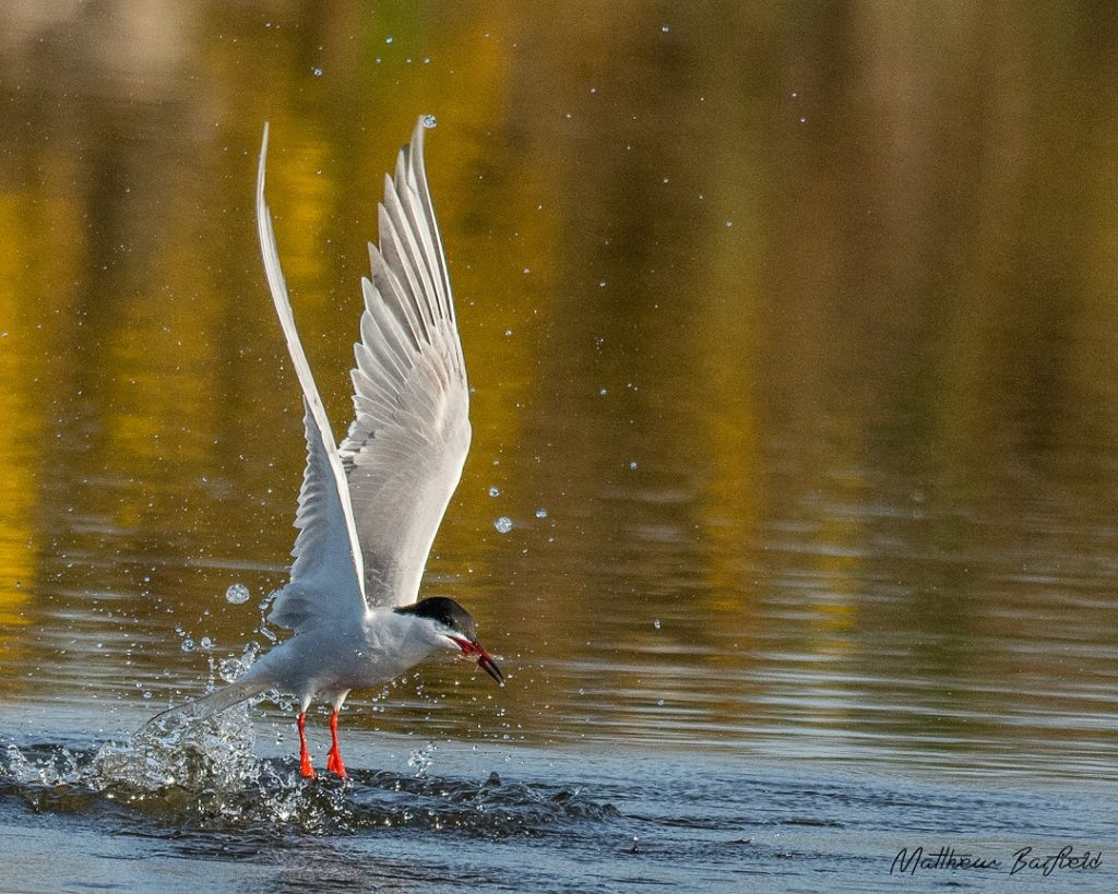 Matthew Barfield Wildlife Photography New Forest Birds Common Tern Dive Fish