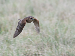 Matthew Barfield Wildlife Photography New Forest Birds  sparrowhawk bird of preY