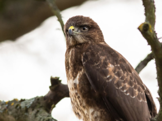 Matthew Barfield Wildlife Photography New Forest Birds Common Buzzard