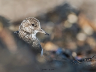 Matthew Barfield Wildlife Photography New Forest Birds Turnstone