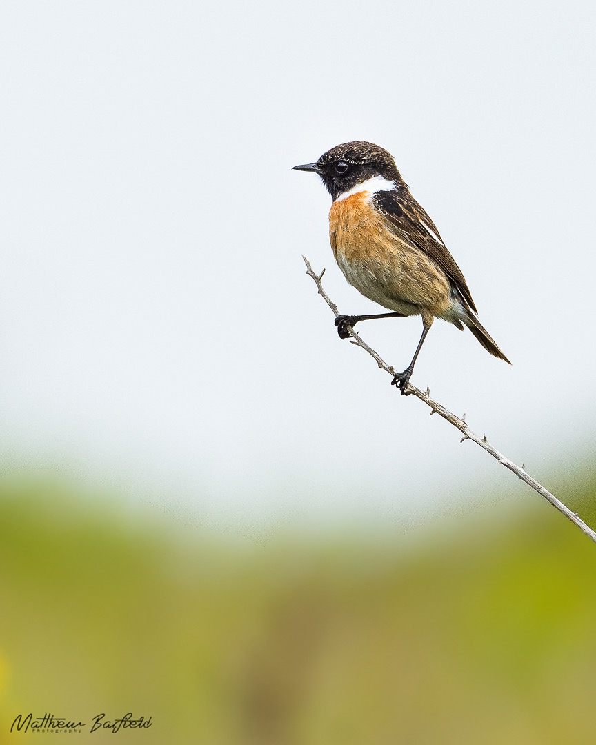 Matthew Barfield Wildlife Photography New Forest Birds stonechat
