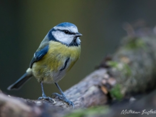 Matthew Barfield Wildlife Photography New Forest Blue Tit