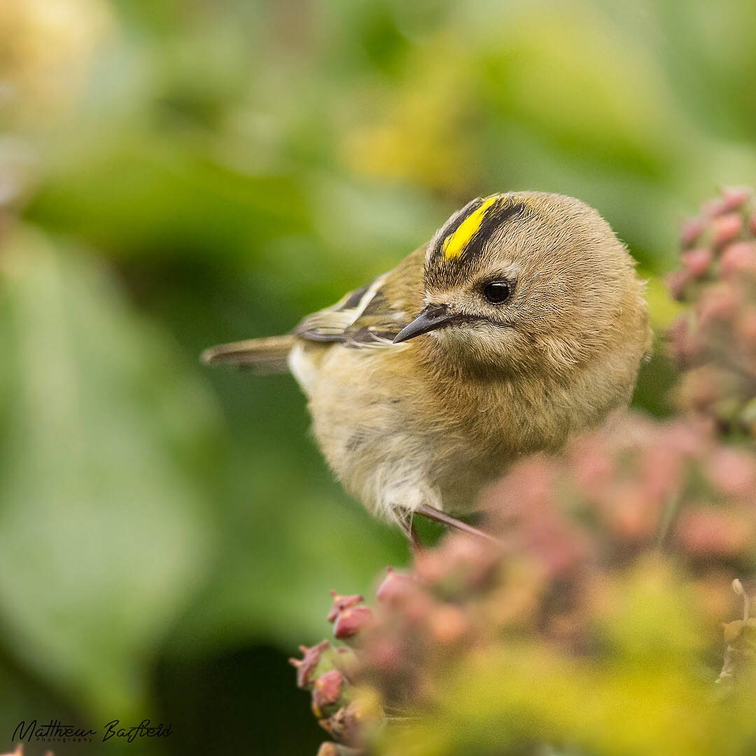 Matthew Barfield Wildlife Photography New Forest Birds Goldcrest