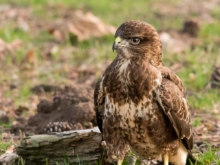 Matthew Barfield Wildlife Photography New Forest Birds Buzzard walking bird of prey