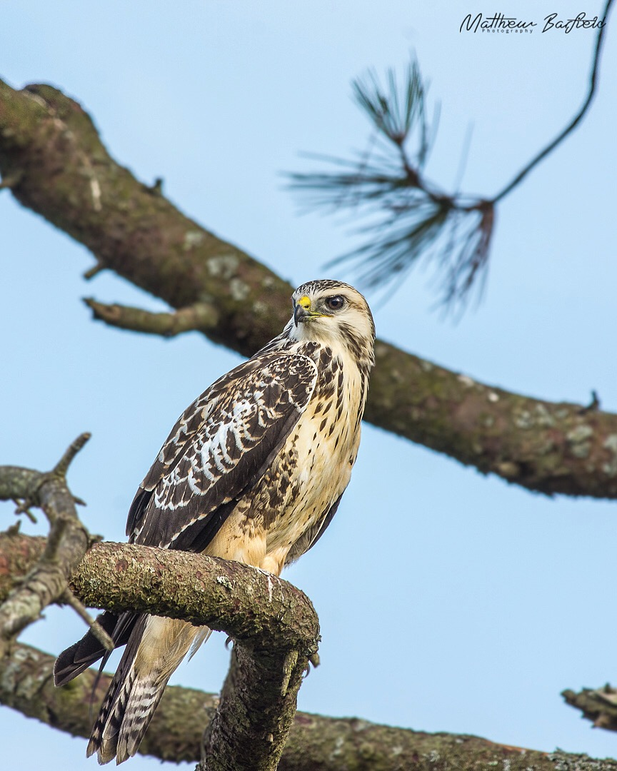 Matthew Barfield Wildlife Photography New Forest Birds Buzzard Perched Bird of Prey
