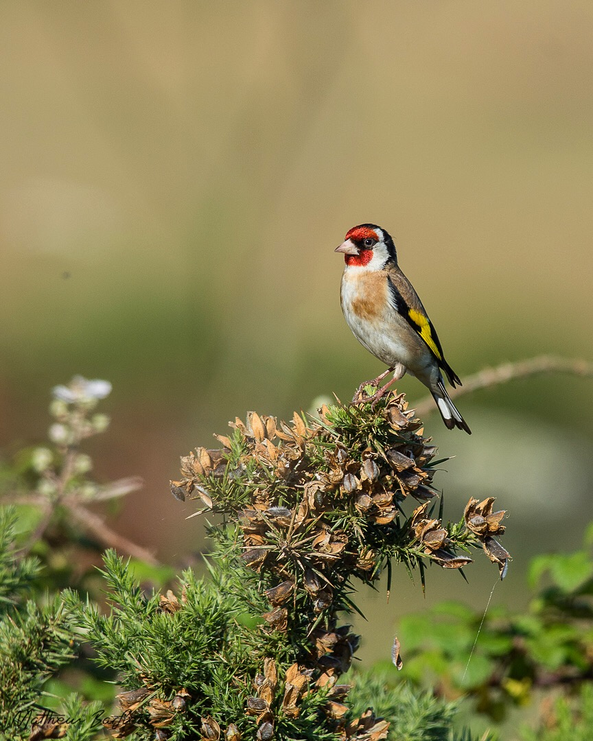 Matthew Barfield Wildlife Photography New Forest Birds Goldfinch