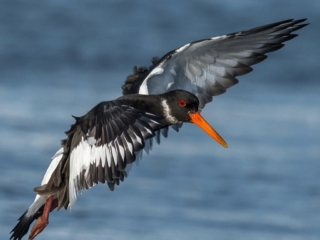 Matthew Barfield Wildlife Photography New Forest Birds Oystercatcher wader