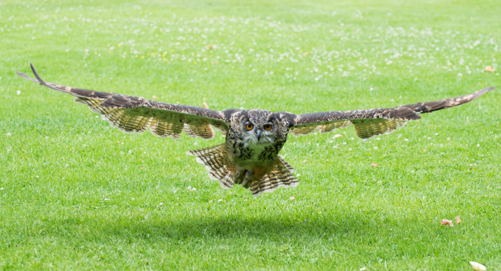 Matthew Barfield Wildlife Photography New Forest Eagle Owl