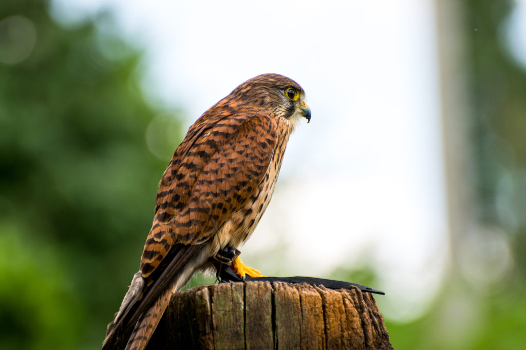 Matthew Barfield Wildlife Photography New Forest  Kestrel