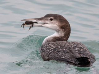 Matthew Barfield Wildlife Photography New Forest Birds Great Northern Diver