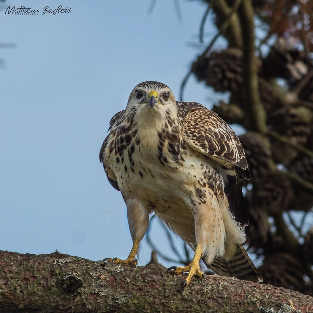 Matthew Barfield Wildlife Photography New Forest Birds Buzzard Bird of Prey Talons Stare Eyes