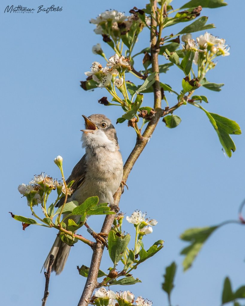 Matthew Barfield Wildlife Photography New Forest Birds Whitethroat