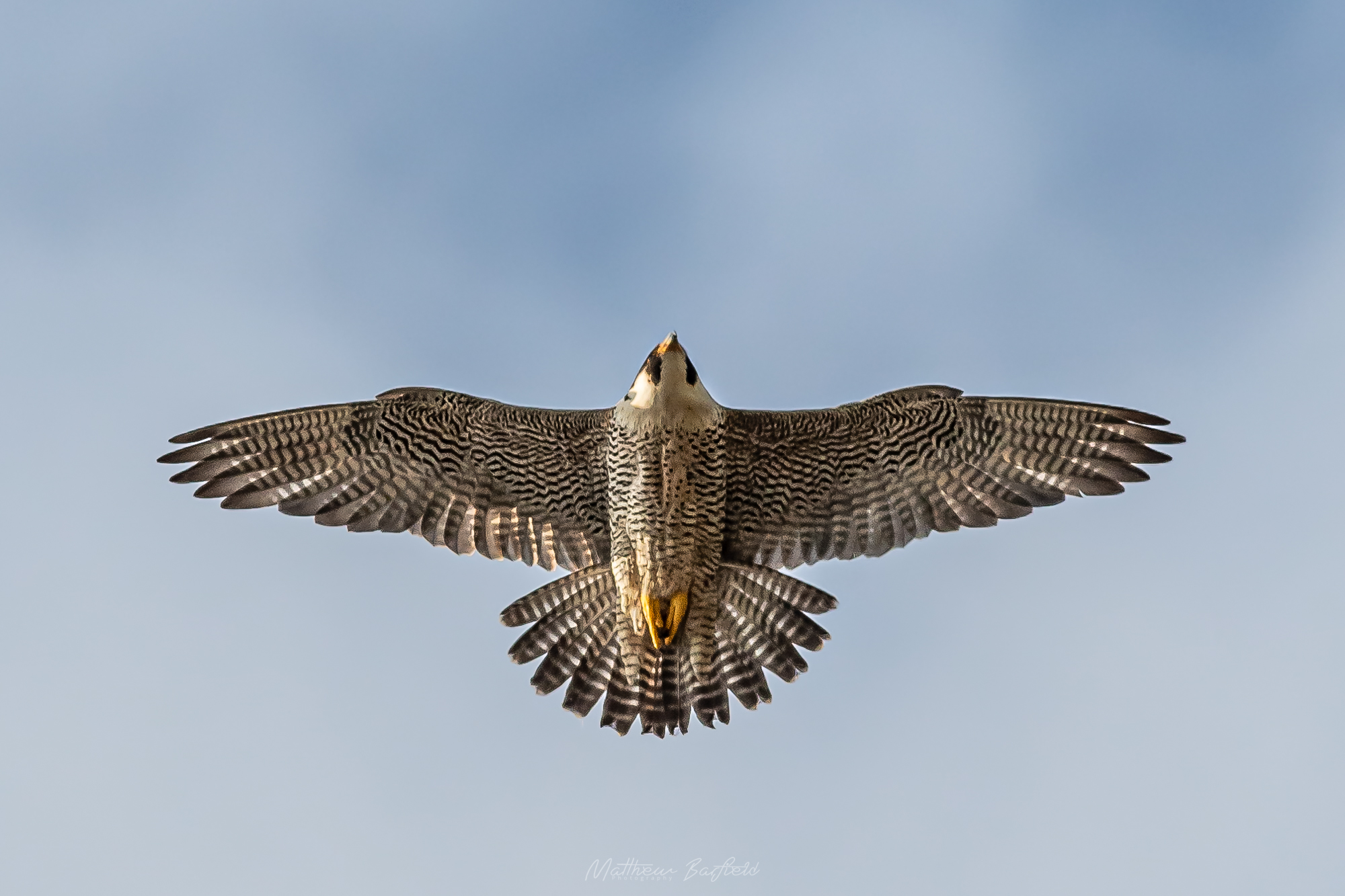 Matthew Barfield Wildlife Photography New Forest Birds  peregrine falcon bird of prey