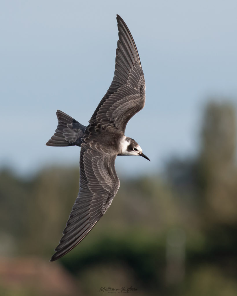 Matthew Barfield Wildlife Photography New Forest Birds American Black Tern Dorset