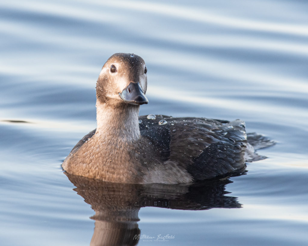 Matthew Barfield Wildlife Photography New Forest Birds Long Tailed Duck