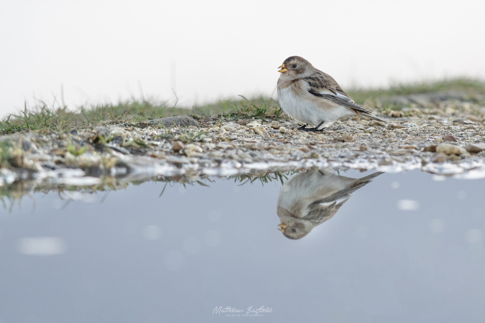 Matthew Barfield Wildlife Photography New Forest Birds  snow bunting