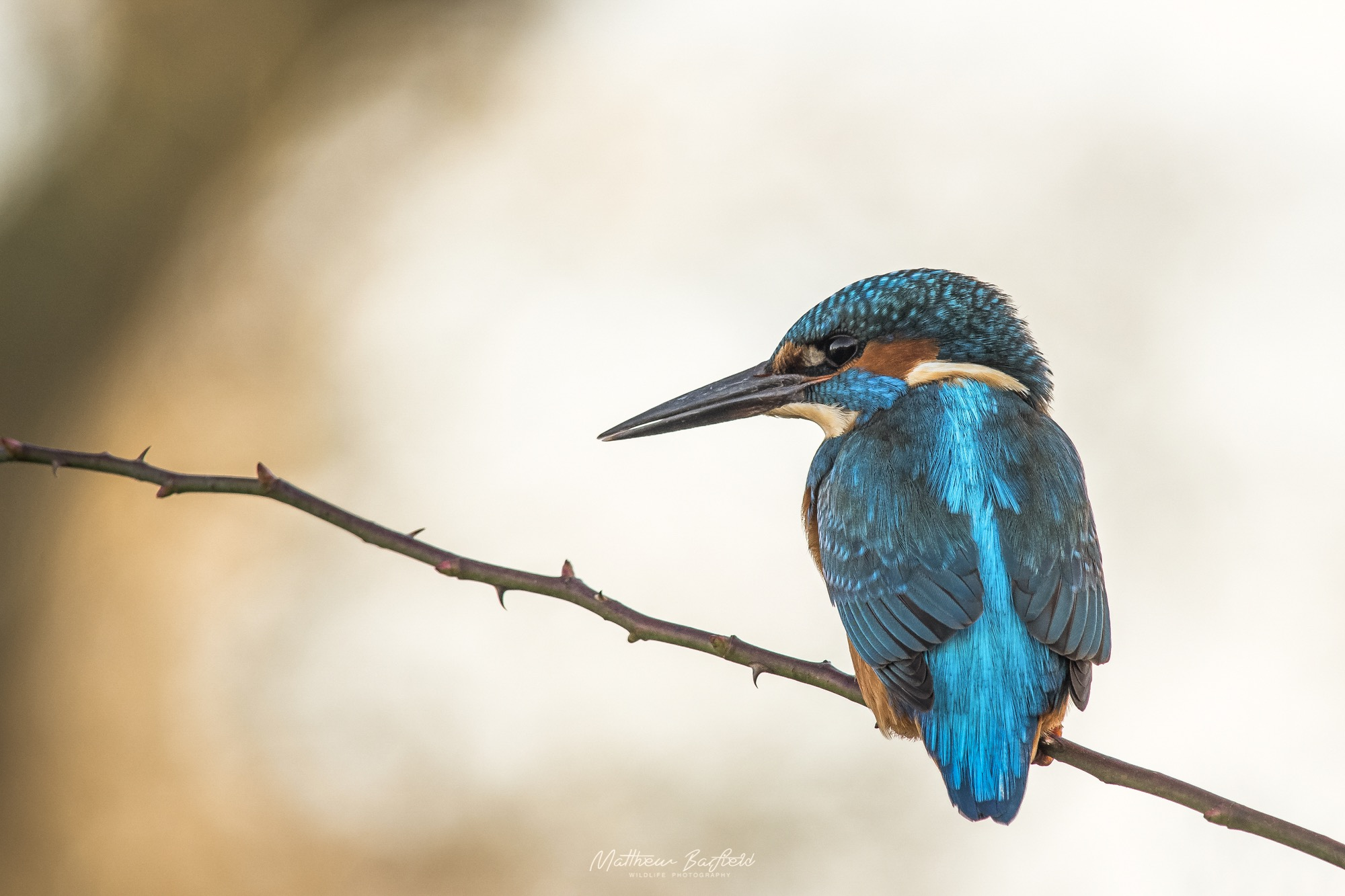 Matthew Barfield Wildlife Photography New Forest Birds Kingfisher