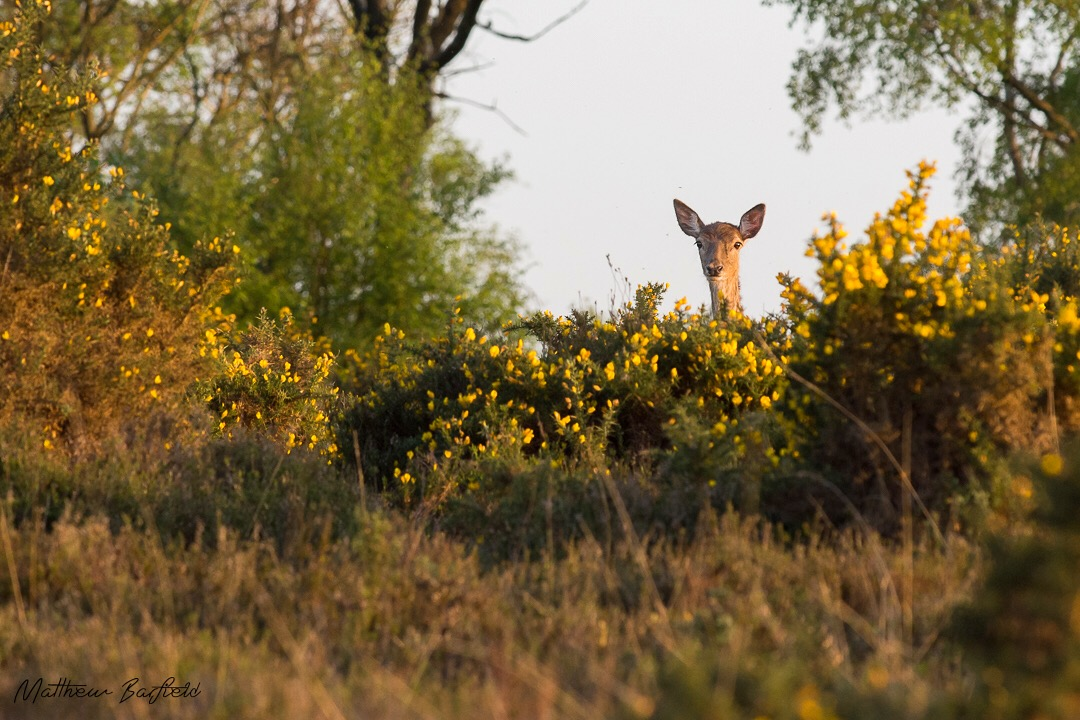Matthew Barfield Wildlife Photography New Forest Doe Deer