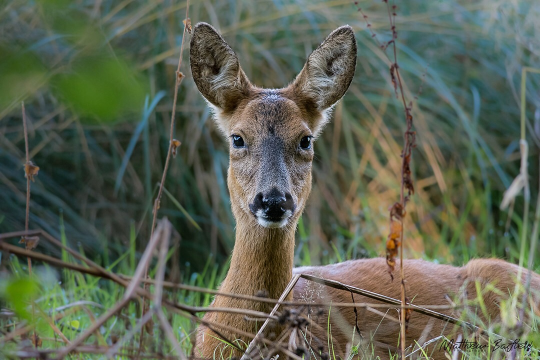 Matthew Barfield Wildlife Photography New Forest Roe Deer Stare