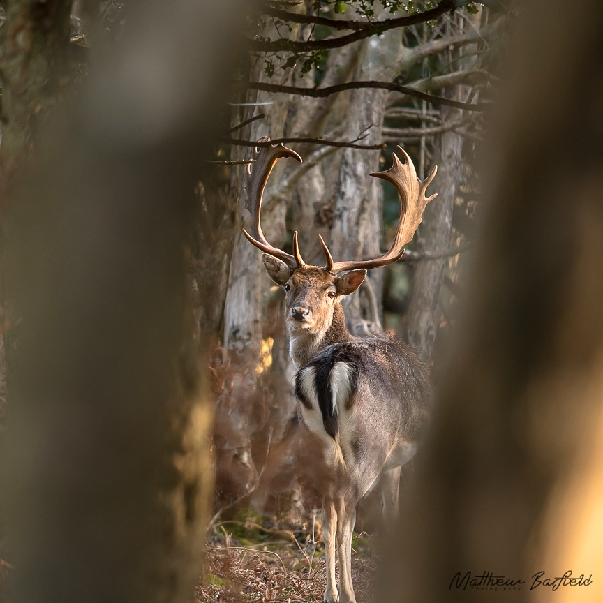 Matthew Barfield Wildlife Photography New Forest