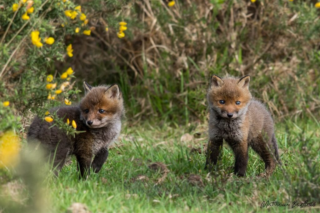Matthew Barfield Wildlife Photography New Forest Red Fox Cubs