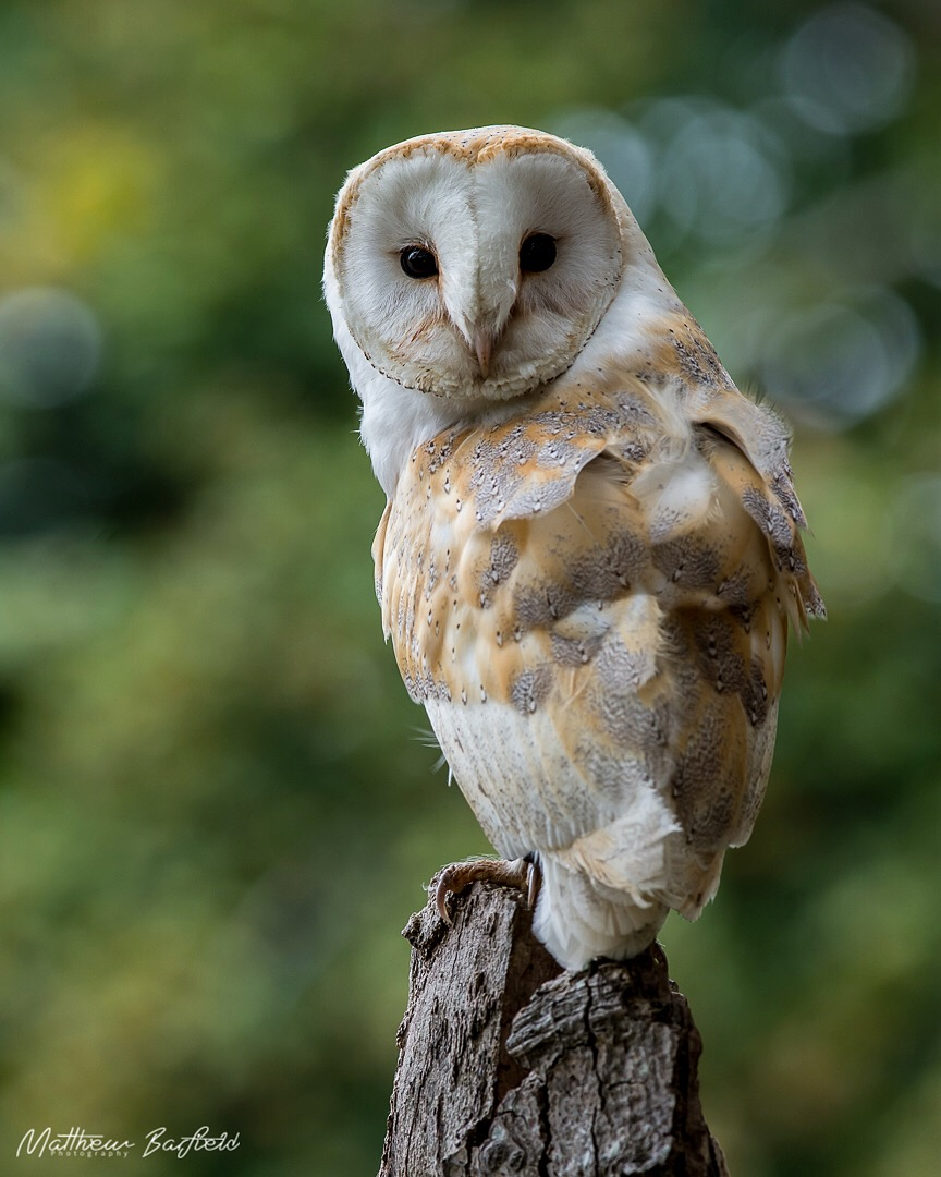 Barn owl owls in the forest matthew barfield photography