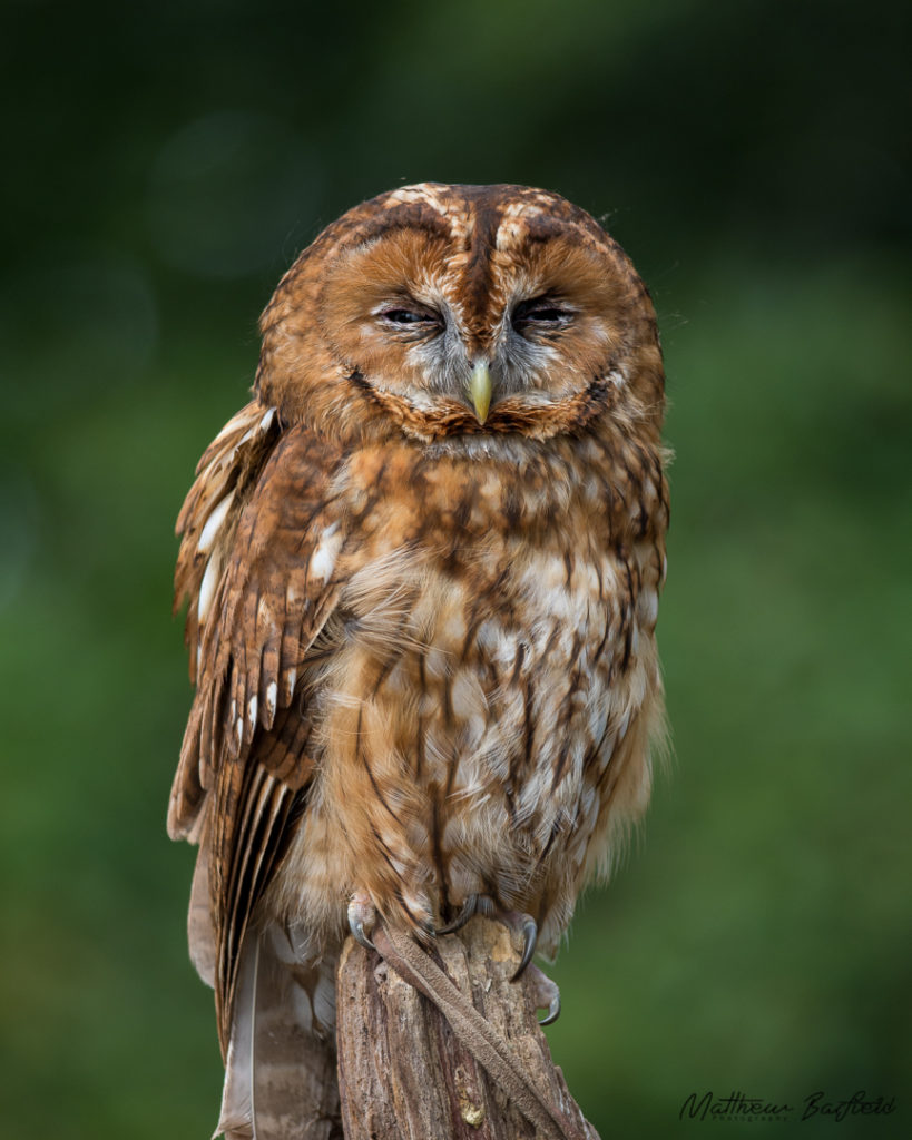 tawny owls in the forest matthew barfield photography