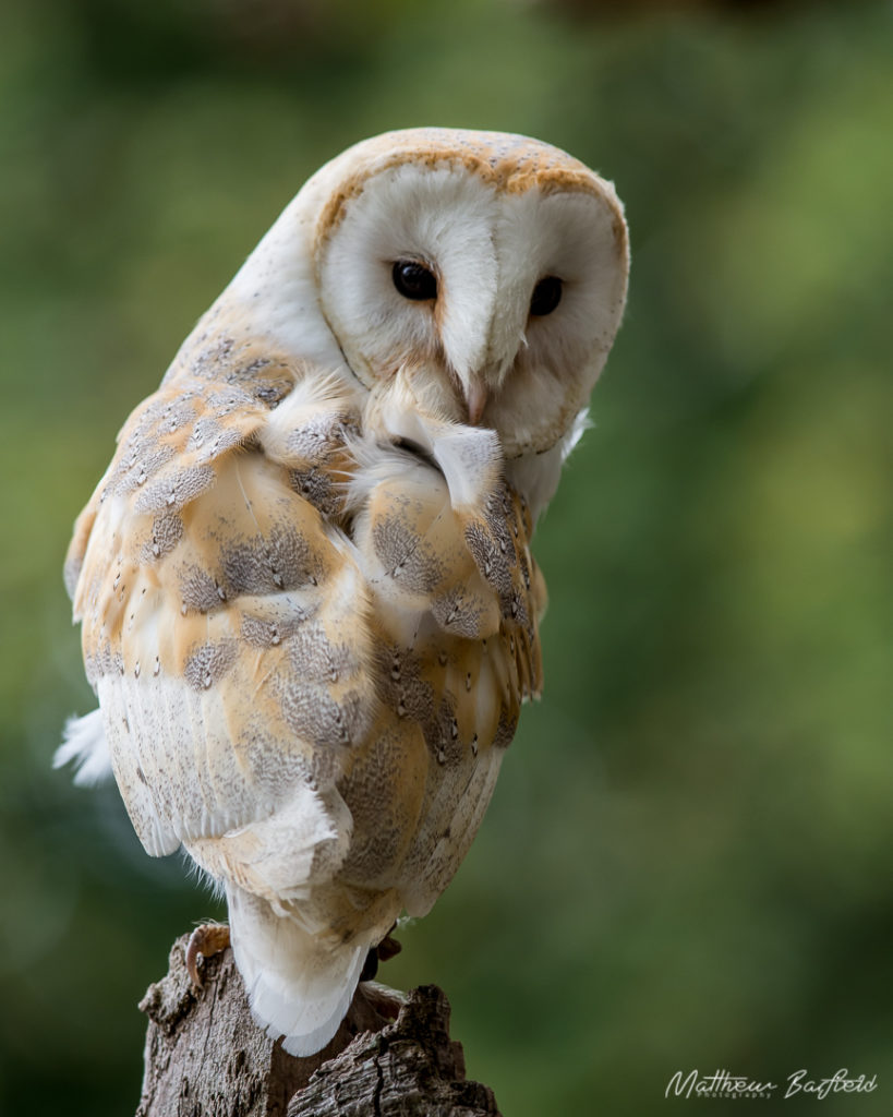 Barn owls in the forest matthew barfield photography