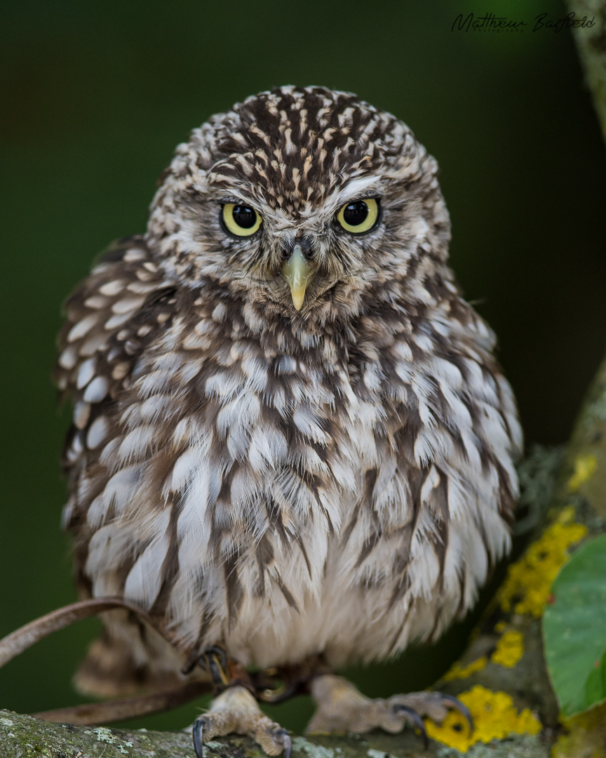 Little owl owls in the forest matthew barfield photography