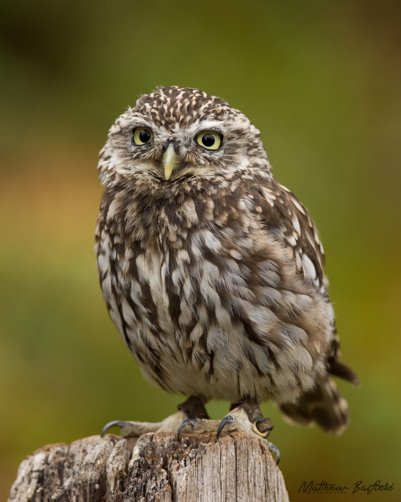 Little owls in the forest matthew barfield photography