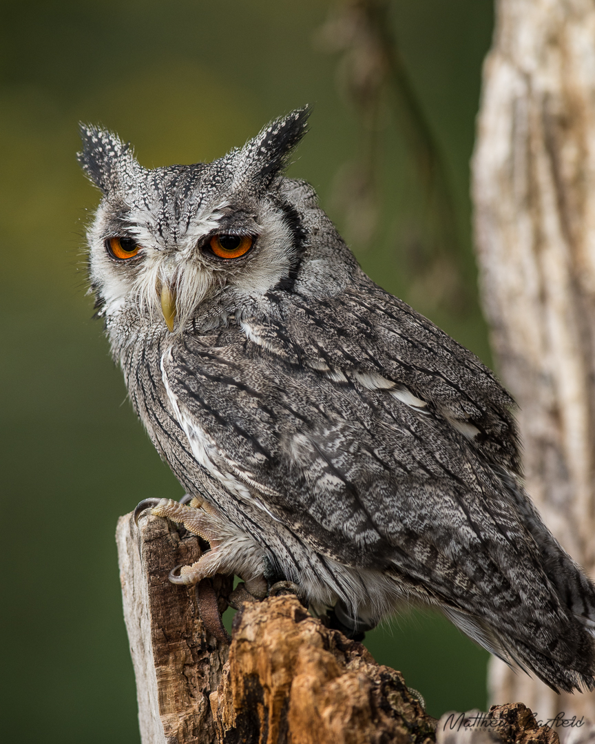 southern white faced owl owls in the forest matthew barfield photography
