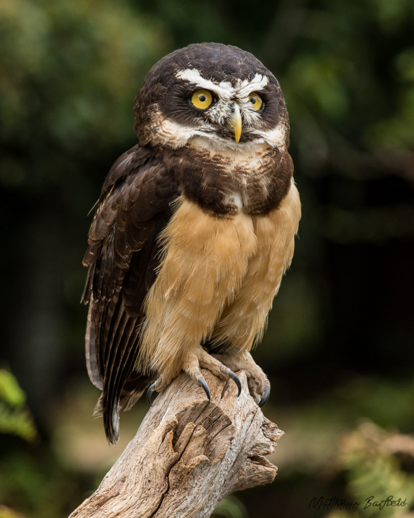 Spectacled owl owls in the forest matthew barfield photography