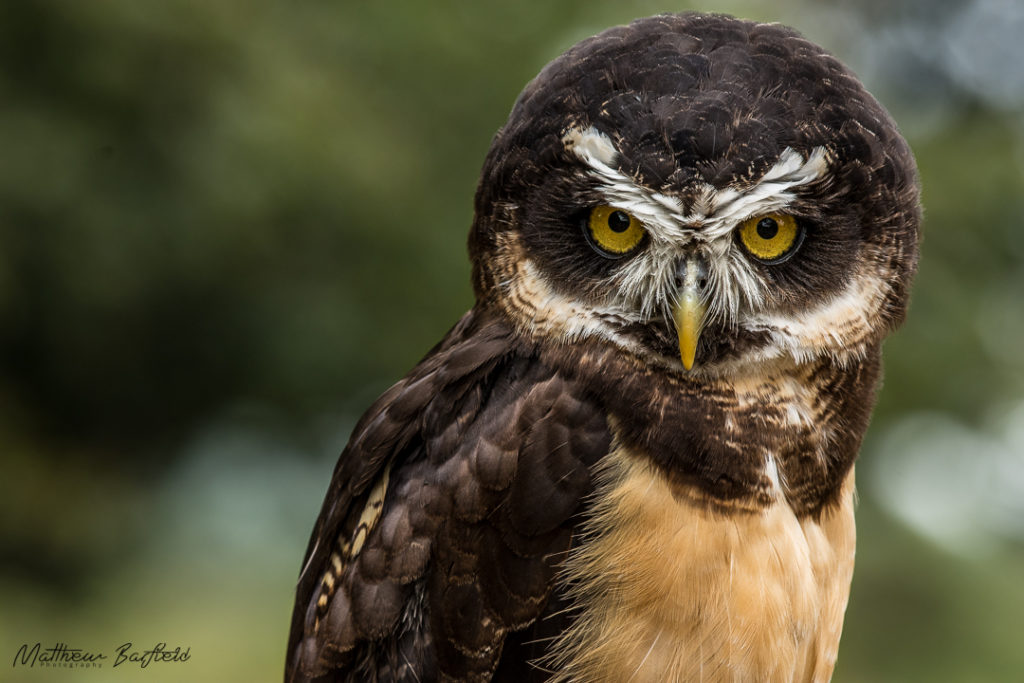 spectacled owls in the forest matthew barfield photography