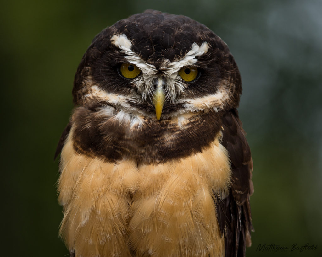 Spectacld owl owls in the forest matthew barfield photography